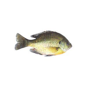 Live Fish - Harrietta Hills
