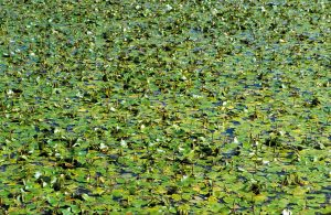 Pond Weed Killer