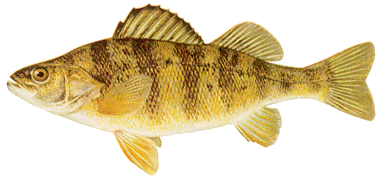 fish Yello Perch cropped